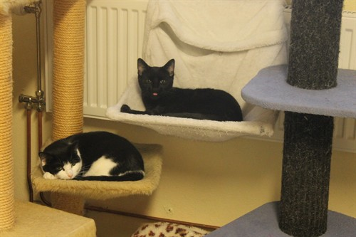 Två katter i katträd