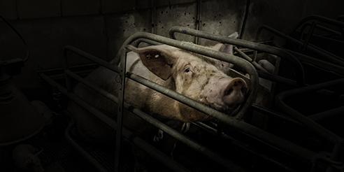 Bild på gris i bur