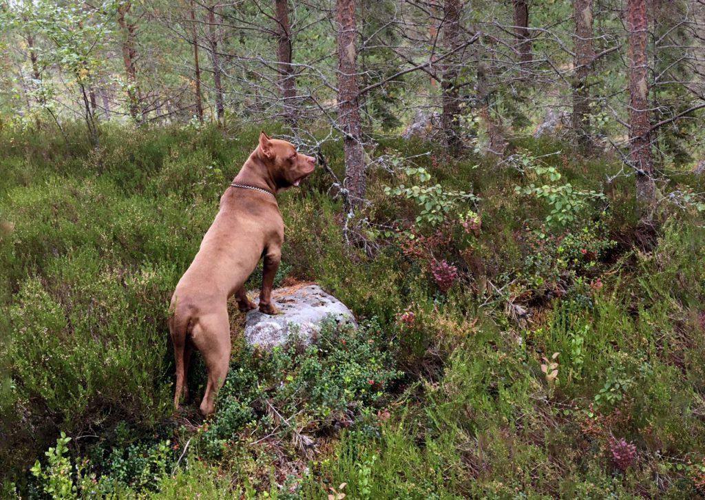 Hunden Igor i skogen